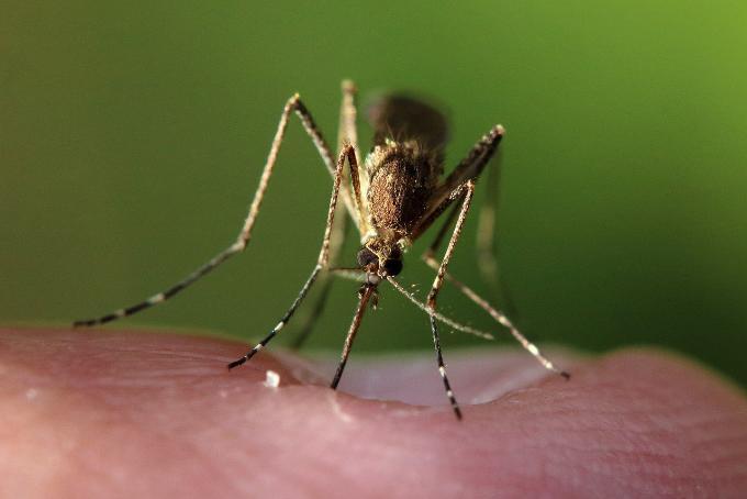 Какие инфекции переносят комары: комментарий эксперта