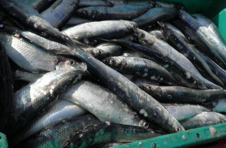 Приморские рыбаки выловили 41 тысячу тонн сельди