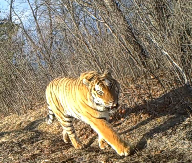 Беседа амурского тигра и оленя попала на видео в Приморье