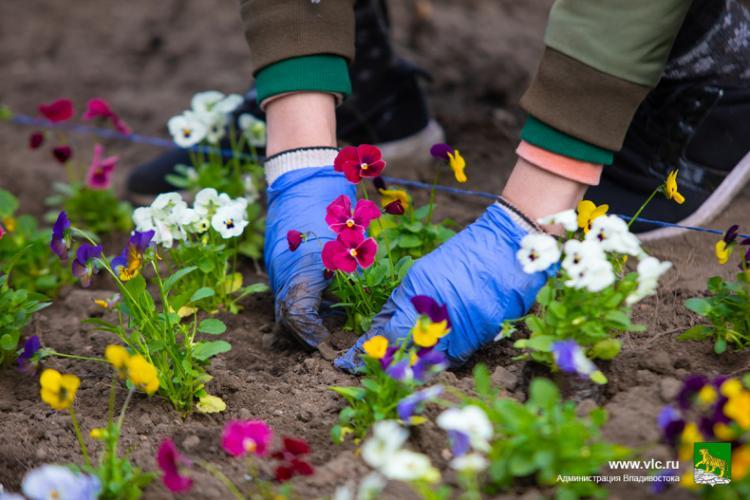 На клумбы Владивостока высадили более 35 тысяч цветов