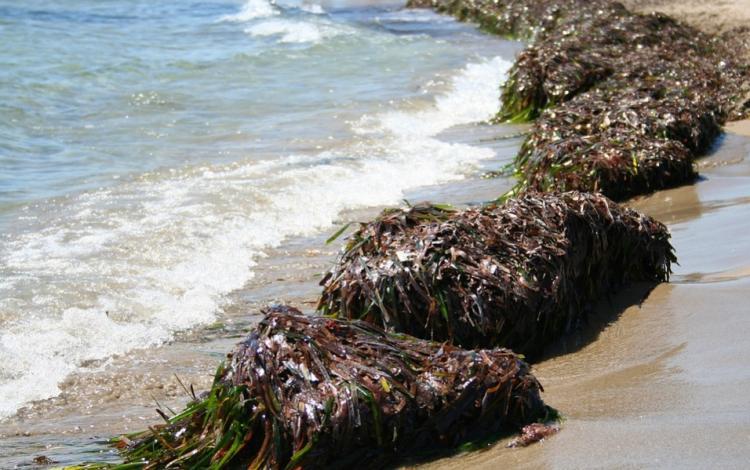 Популярный пляж Приморья утопает в тоннах морской травы