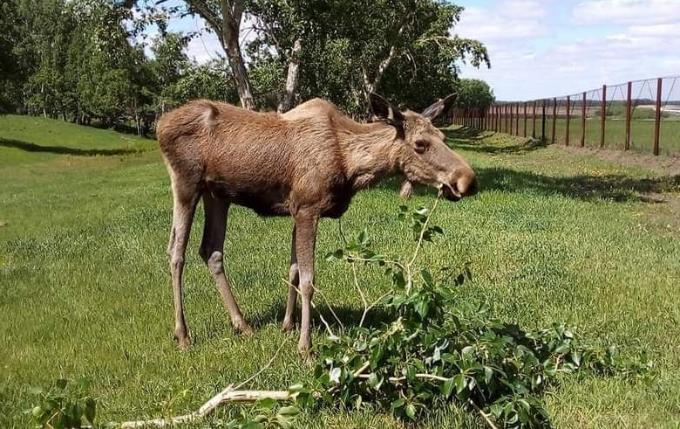 Дело об отстреле лосей в Убинском районе продолжается