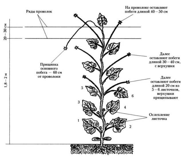 Как пасынковать огурцы: советы огородникам