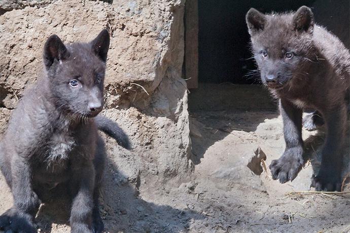 Угольно-черные волчата родились в Новосибирском зоопарке