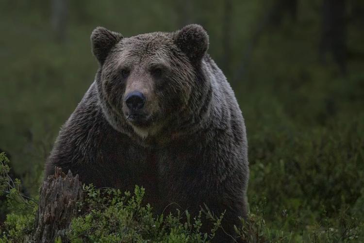 Мертвого медведя нашел приморец на выезде из Владивостока