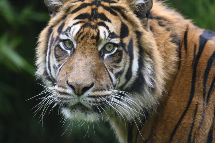 Тигр зашел в населенный пункт Приморья - видео