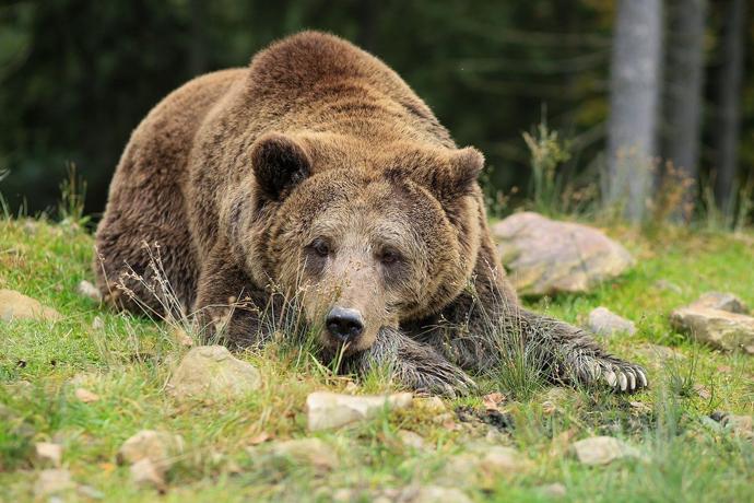 Отстрел медведя-убийцы под Новосибирском объяснили в Минприроде