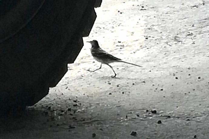 Трясогузки вывели птенцов под прицепом и летают следом за «КАМАЗом»
