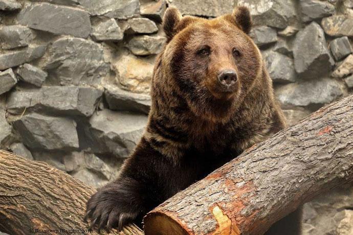 Берлоги для наблюдения за медведями построят в Новосибирском зоопарке