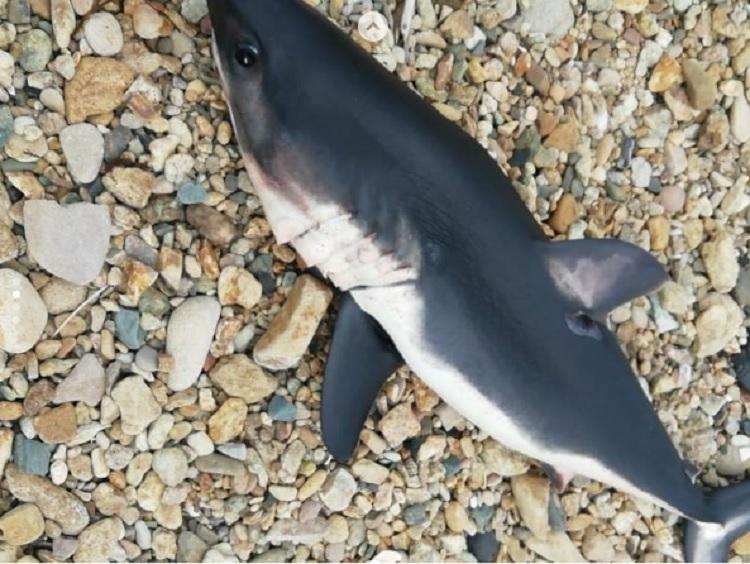 Акулу выбросило на берег в Приморье