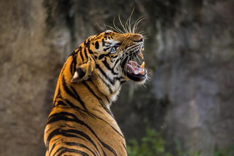 Тигриная свадьба в Приморье: для хищницы Елены нашли потенциальную партию