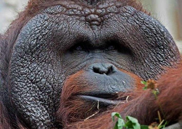 Любимцу всех новосибирцев орангутану Бату исполнилось 22 года