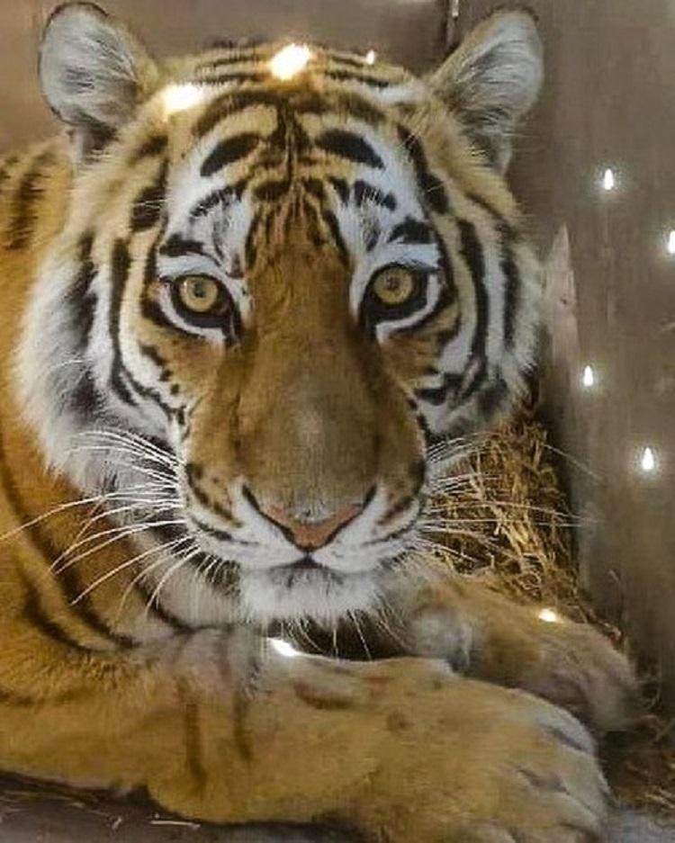 В Приморье выбирают имя своенравной тигрице