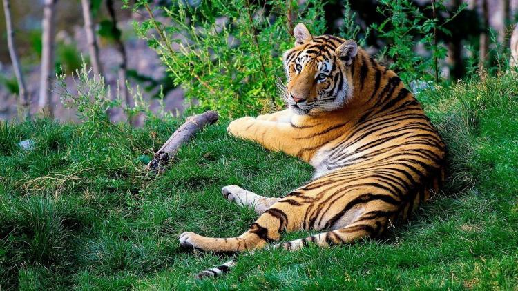 Грибник встретил тигра в окрестностях Владивостока