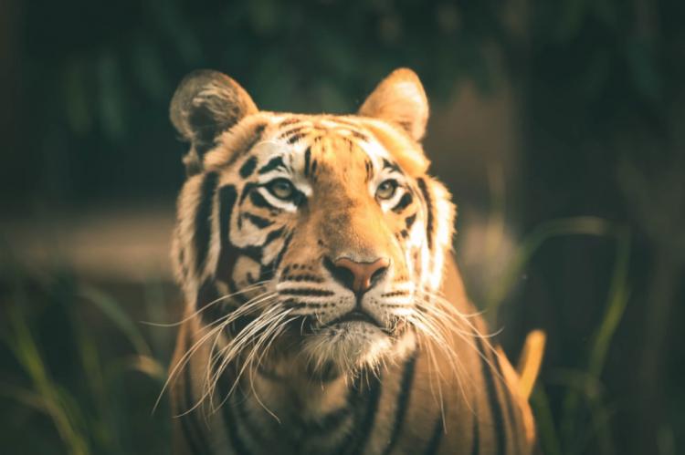Жители Приморья встретились с тигром на дороге