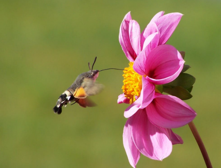 «Бабочку-колибри» заметили жители Приморья в своем саду
