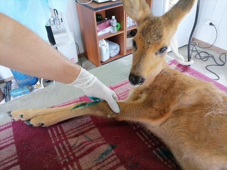 Травмированную косулю доставили в приморский центр спасения животных