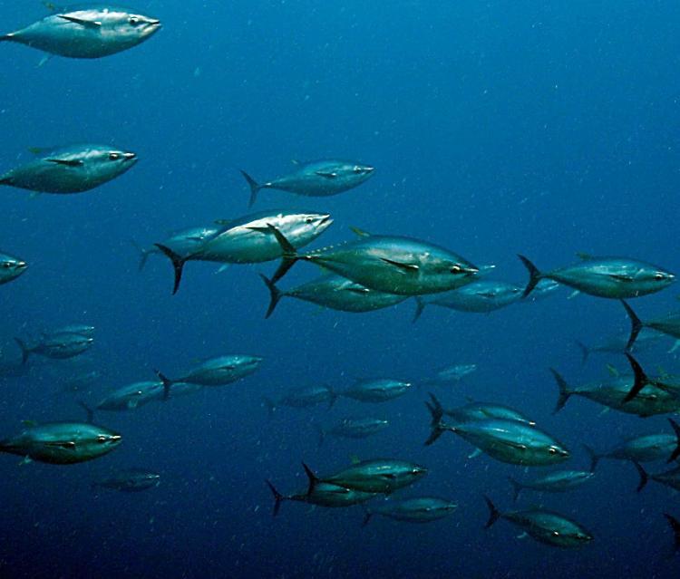 Редкая экзотическая рыба впервые замечена в водах Приморья