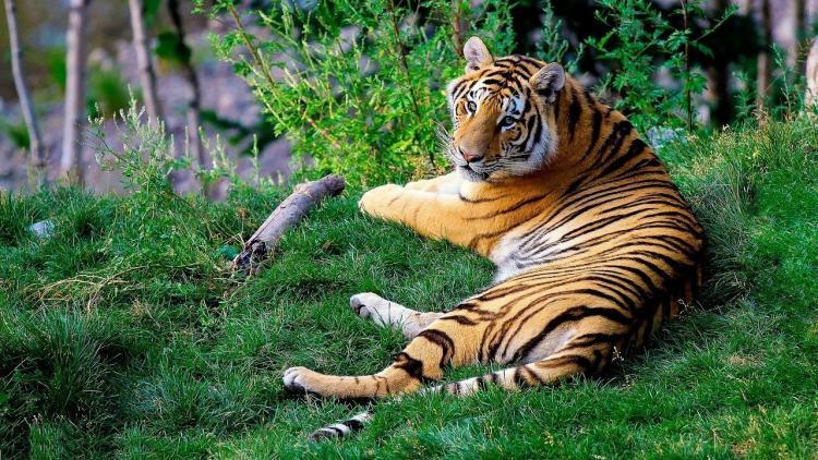 В Приморье и по всему Дальнему Востоку спасают амурских тигров