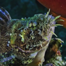Приморский дайвер показал редкого обитателя акватории края