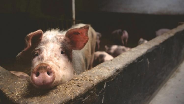 В Приморье прогнозируют всплеск африканской чумы свиней